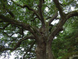 albero di rovere - parquet di rovere in massello